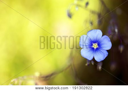 Beautiful blue flax flower background with copy space