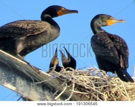 Toronto, Canada - June 13, 2017: Cormorant family on the transmission tower.