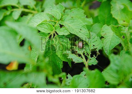 Colorado potato beetle eats potatoes, pest, green leaves of potatoes