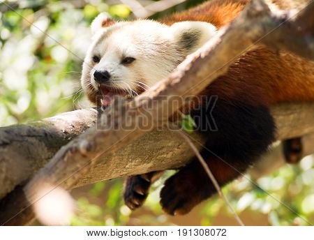 A Lessor Panda tries to take a nap in a tree