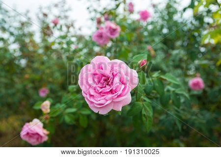 Pink Rose Flower Plant in Rose Garden or Farm with Green Leaf Background as Romance or Valentine Concept