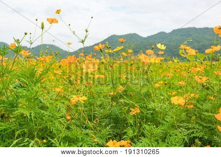 Field Of Yellow Cosmos Flower Meadow In Valley Of Tropical Garden