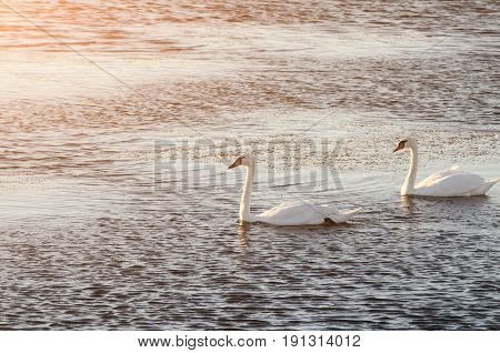 Beautiful Swans Swim On The Lake During Sunset, Free Space. Two Swans Close-up.