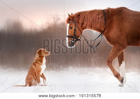 Dog Nova Scotia duck tolling Retriever and a horse outdoors in winter
