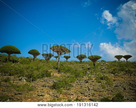 Dragon tree forest at plateau Dixam endemic plant of Socotra island in Yemen