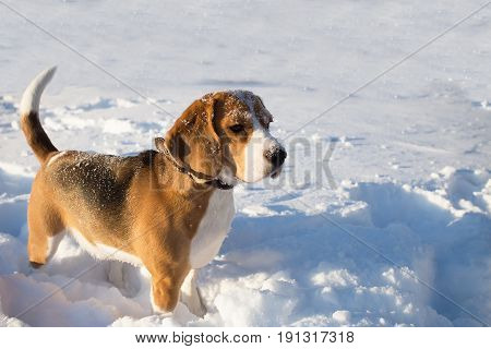 Dog standing in snow. Beagle dog outdoors in winter day.