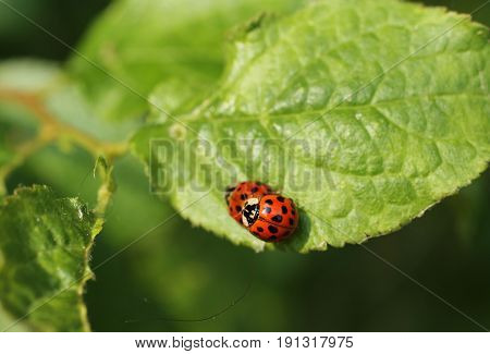 close photo of mating ladybugs on the green leaf