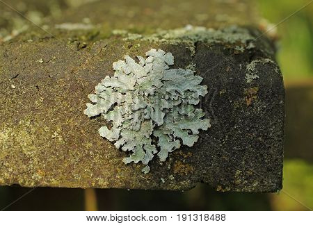 close photo of a foliose lichen Parmotrema growing on the bench