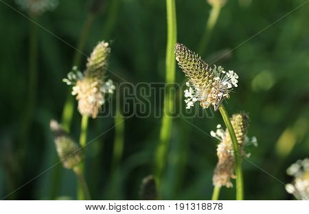 close photo of blooming narrowleaf plantain (Plantago lanceolata)