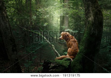 Dog Nova Scotia Duck Tolling Retriever Outdoors In The Morning