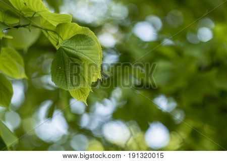Juicy young leaves of linden (Tilia) on a blurred green background on a summer evening.