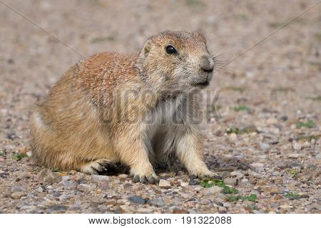 Single South Dakota Prairie Dog