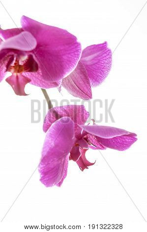 Purple orchid hanging down. A close up fine art image of a purple orchid lit brightly against a white background.