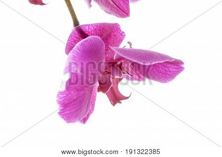 Macro of violet orchid. A close up fine art image of a purple orchid lit brightly against a white background.