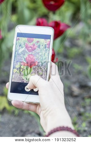 Girl photographs on the phone beautiful red tulips (tulipa).