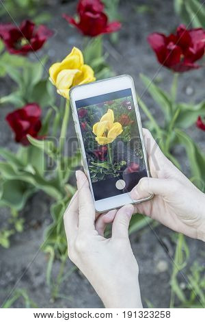 Girl photographs on her phone a beautiful yellow tulip (tulipa) which grows among the bright red flowers.