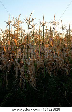 Crop of corn in cornfield field grain growing farming