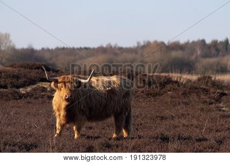 Highland Cattle Grazing in the province of Drente, the Netherlands