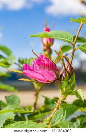 Briar Flowers, A Bush Of A Blossoming Dog Rose