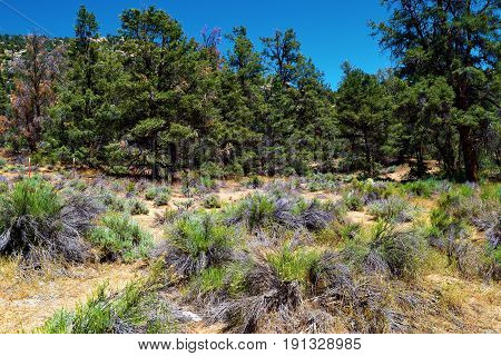Meadow of Sagebrush surrounded by a Pine Forest taken at the Sierra Nevada Mountains in Kennedy Meadows, CA
