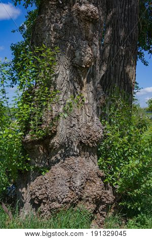 Trunk Of A Very Old Tree With Growths Close-up