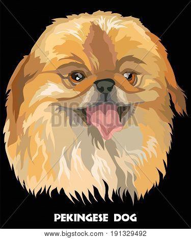Colored portrait of Pekingese dog vector Illustration on black background
