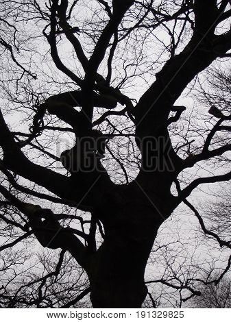 black twisted beech tree against a grey winter sky