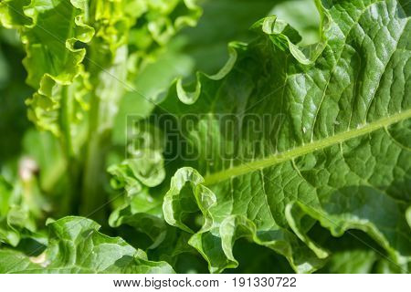 Large Young Burdock Leaves