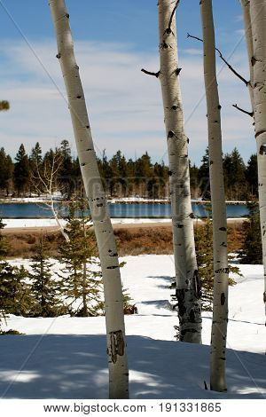 Aspens in spring as winter snow thaws on the Dixie National Forest scenic byway highway 14