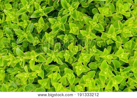 Texture of green leaf background from garden