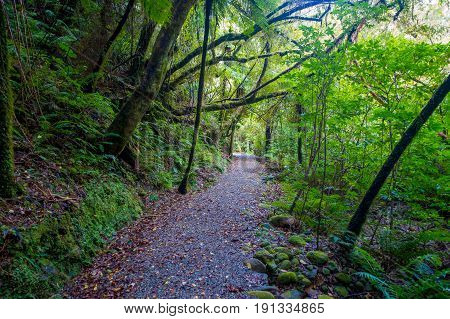 Pathway through dense temperate rainforest with fern trees in south island, in New Zealand.
