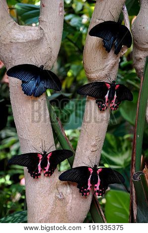 Scarlet Mormon butterflies lined up on a tree ready for take off
