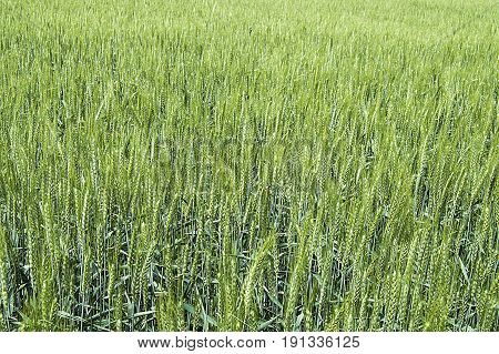 Green wheat ears, cultivated wheat in the field, wheat agriculture, immature wheat, wheat landscape pictures