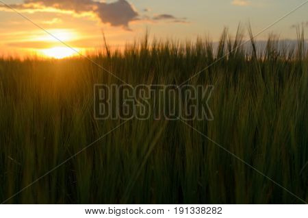 Sunset over a field with cereals. Spikelets of cereals