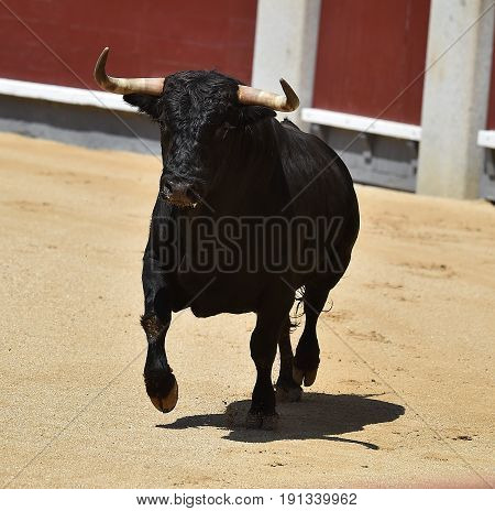 bullfight in spain with spanish bull with big antlers