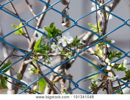 flowers on the tree behind the fence
