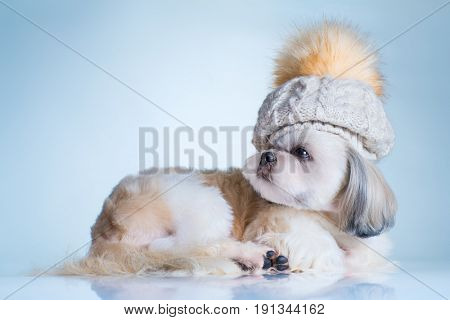 Shih tzu dog in big winter cap portrait. On bright white and blue background.