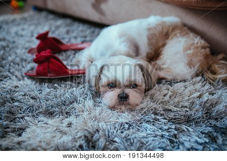 Shih tzu dog lying on carpet with owner slippers in home interior