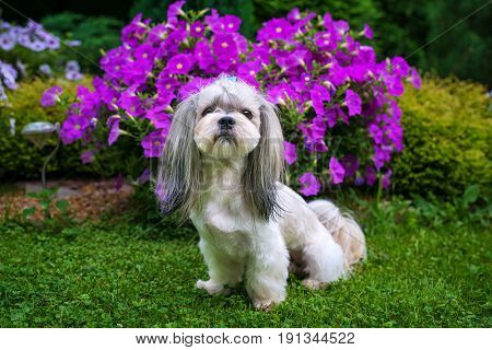 Shih tzu dog in garden with violet flowers and green grass