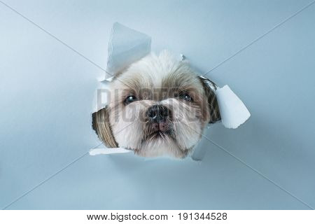 Cute shih tzu dog looking through hole in white paper