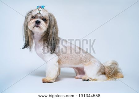Shih tzu dog with short hair after grooming side view. On bright white and blue background.