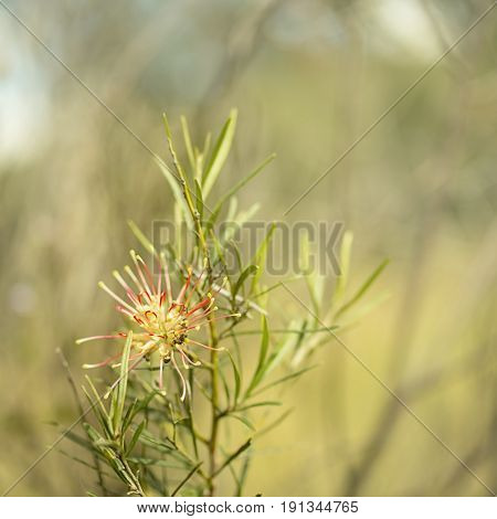 Square image of Australian native Grevillea species spider flower bloom in winter