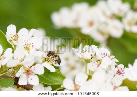 A Bee Collects Nectar From The Flowers Of Pear Trees In Profile
