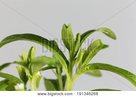 Leaves of of a candyleaf plant (Stevia rebaudiana)