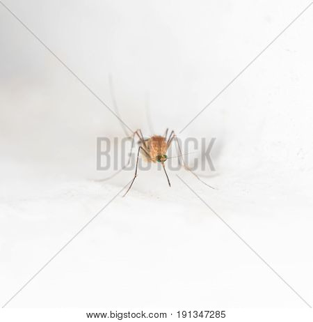 mosquito on the white wall. macro . A photo