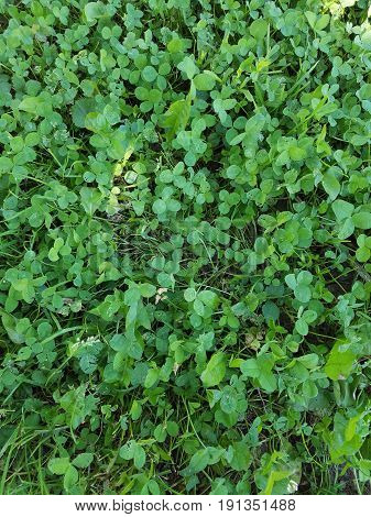 green clover and various weeds in the lawn