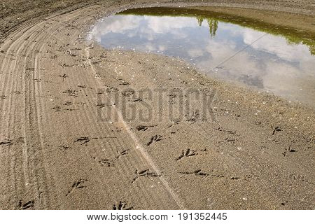 Bird tracks in a rain soaked sand trap