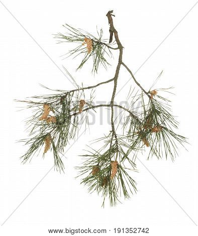 Pine branch with young cones isolated on white background.