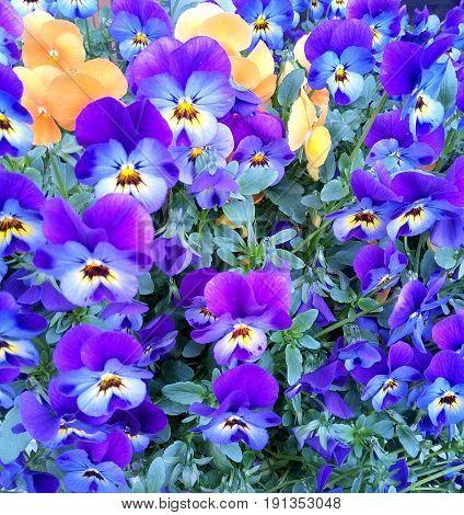 Violet flower background of forget-me-not close up