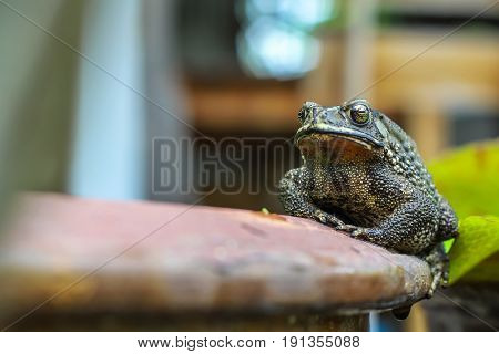 Big toad on the edge of the pot in the garden.